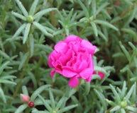 桃红色青苔上升了与露水和叶子 免版税库存照片