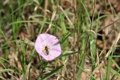 桃红色领域野生植物 库存照片