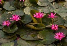 桃红色颜色新鲜的莲花开花 免版税库存照片