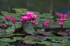 桃红色颜色新鲜的莲花开花 免版税库存图片