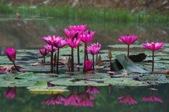 桃红色颜色新鲜的莲花开花 库存图片