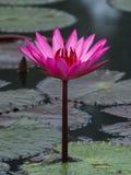 桃红色颜色新鲜的莲花开花 库存照片