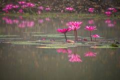 桃红色颜色新鲜的莲花开花 图库摄影