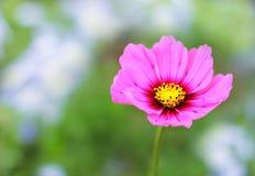 桃红色颜色波斯菊花 库存图片