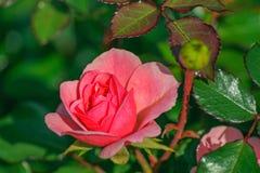 桃红色颜色的罗斯 库存图片