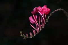 桃红色颜色花爬行物 免版税库存照片
