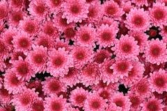 桃红色颜色菊花顶视图开花背景的花束 库存图片