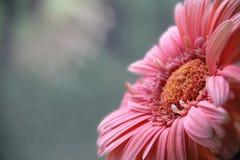 桃红色颜色菊花  库存图片
