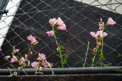 桃红色颜色路旁花卉生长在链节篱芭 免版税图库摄影