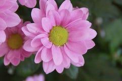 桃红色颜色-正面图有吸引力的花  库存图片