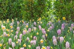 桃红色风信花和黄色水仙在公园 背景概念花春天空白黄色年轻人 C 库存图片