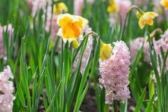 桃红色风信花和黄色水仙在荷兰公园 浓缩的春天 免版税图库摄影