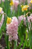 桃红色风信花和黄色水仙在荷兰公园 浓缩的春天 免版税库存图片