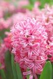 桃红色风信花在庭院里 库存照片