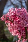 桃红色风信花特写镜头在早期的春天 免版税库存图片