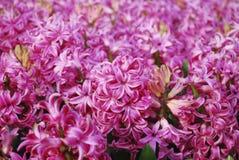桃红色风信花Hyacinthus 免版税库存照片
