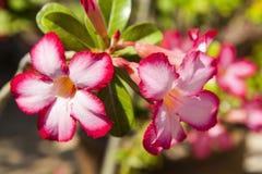 桃红色飞羚百合在花园里 图库摄影