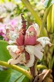 桃红色香蕉开花的香蕉 免版税图库摄影