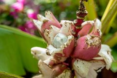 桃红色香蕉开花的香蕉 图库摄影