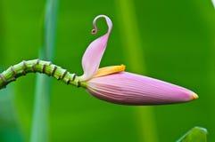 桃红色香蕉花 库存图片