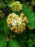 桃红色马樱丹属开花马樱丹属camara L 在庭院里 库存照片