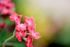 桃红色马鞭草属植物 免版税库存照片