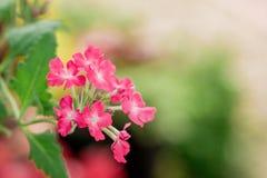 桃红色马鞭草属植物 免版税图库摄影