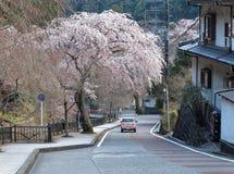 桃红色驾车在一条弯曲的乡下公路在一棵盛大的樱花树佐仓下在Minobu,山梨,日本 免版税库存图片