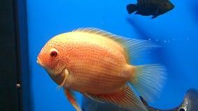 桃红色鱼 影视素材