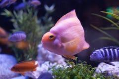 桃红色鱼 免版税库存照片