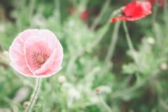 桃红色鸦片在庭院里 库存照片