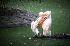 桃红色鹈鹕 库存图片