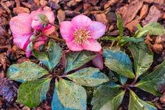 桃红色黑黎芦花和芽有raidrops的 库存照片