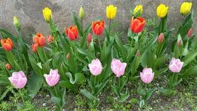 桃红色,橙色和黄色郁金香行  库存图片