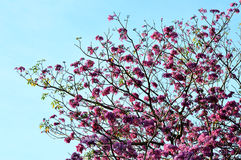 桃红色,白色,祝愿树花,桂皮bakeriana craib树, 库存照片
