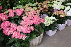 桃红色,白色,蓝色,淡紫色八仙花属或八仙花属macrophylla品种在希腊庭院商店 免版税库存照片