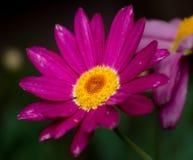 桃红色,紫色野花特写镜头,宏指令,绿色后面地面 库存图片