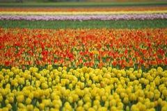 桃红色,红色和橙色郁金香 免版税库存图片