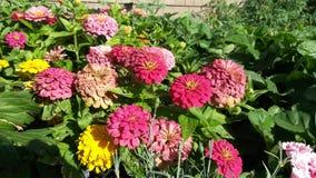 桃红色,红色和黄色菊花 库存照片