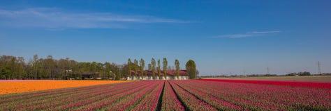 桃红色,红色和黄色郁金香和农场的领域的全景 库存照片