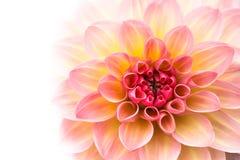 桃红色,黄色和白色新鲜的大丽花花宏观照片被隔绝反对白色背景 免版税库存图片