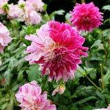 桃红色,洋红色和白色在有相似的颜色其他大丽花的一个庭院里上色了大丽花达莉亚花  免版税库存照片