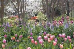 桃红色,紫色,橙色郁金香和树开花在庭院里 免版税库存照片