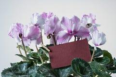 桃红色仙客来绽放和绿色叶子和开花花卉罐 免版税库存照片