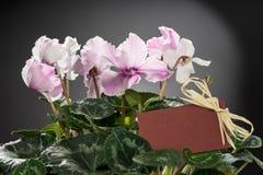 桃红色仙客来绽放和绿色叶子 开花的花卉罐 免版税图库摄影