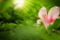 桃红色类木槿、shoeflower或者瓷在下雨背景的庭院affter上升了 库存图片