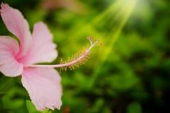 桃红色类木槿、shoeflower或者瓷在下雨背景的庭院affter上升了 免版税库存图片