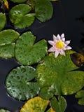 桃红色水百合在有垂直的透视的池塘 免版税库存照片