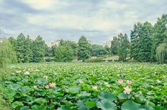 桃红色黄睡莲开花,在湖,水百合,池塘百合的绿色领域 库存照片