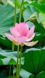 桃红色黄睡莲开花,在湖,水百合,池塘百合,睡莲,莲属nucifera,亦称印地安莲花的绿色领域 库存图片